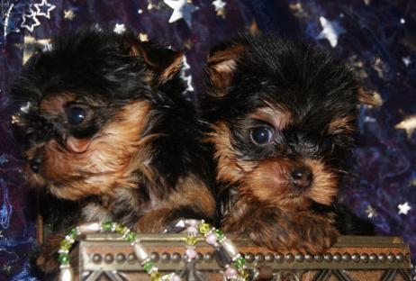 acheter un chiot yorkshire terrier en corse chiot york a vendre en corse yorkshire a vendre nice. Black Bedroom Furniture Sets. Home Design Ideas