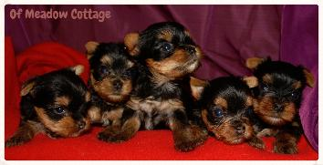 Chiots Yorkshire Elevage Corse
