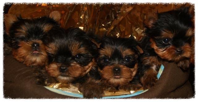 Chiots Yorkshire Corse