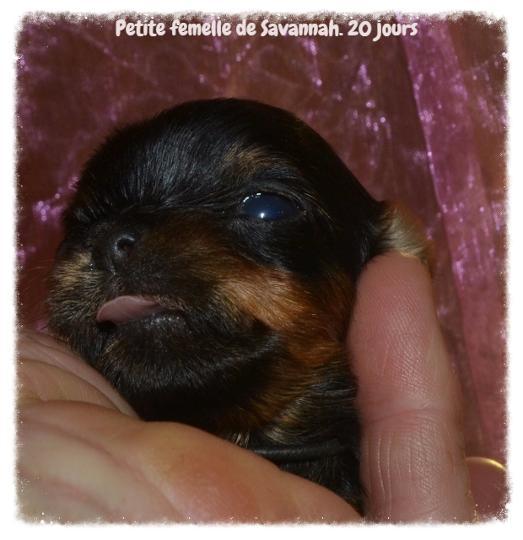 La Taille Du Yorkshire Terrier Mini Ou Standard