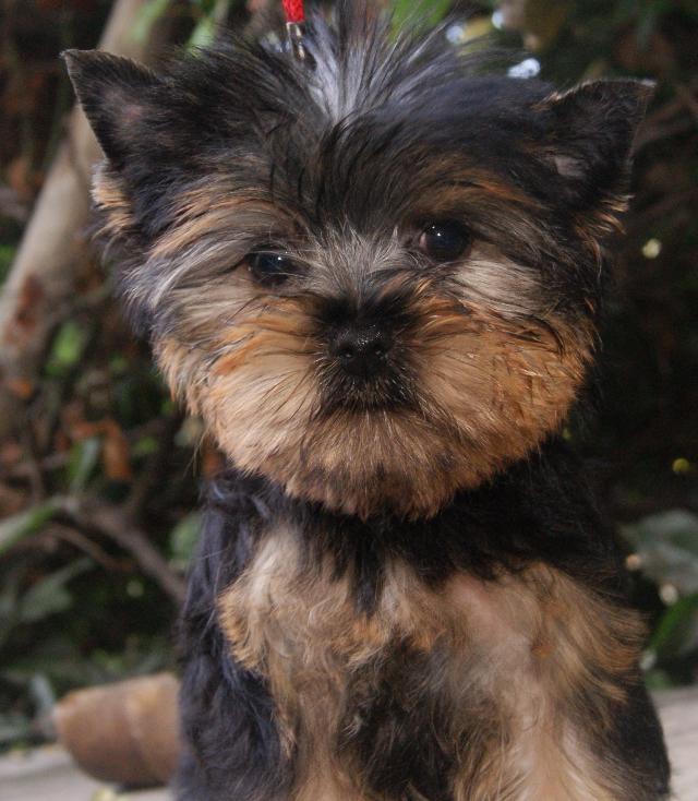 Acheter Un Chiot Yorkshire Terrier En Corse Chiot York A Vendre En Corse Yorkshire A Vendre Nice Marseille